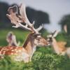 Deer Hunters - Bradgate 1 Photographed by Rick Nunn