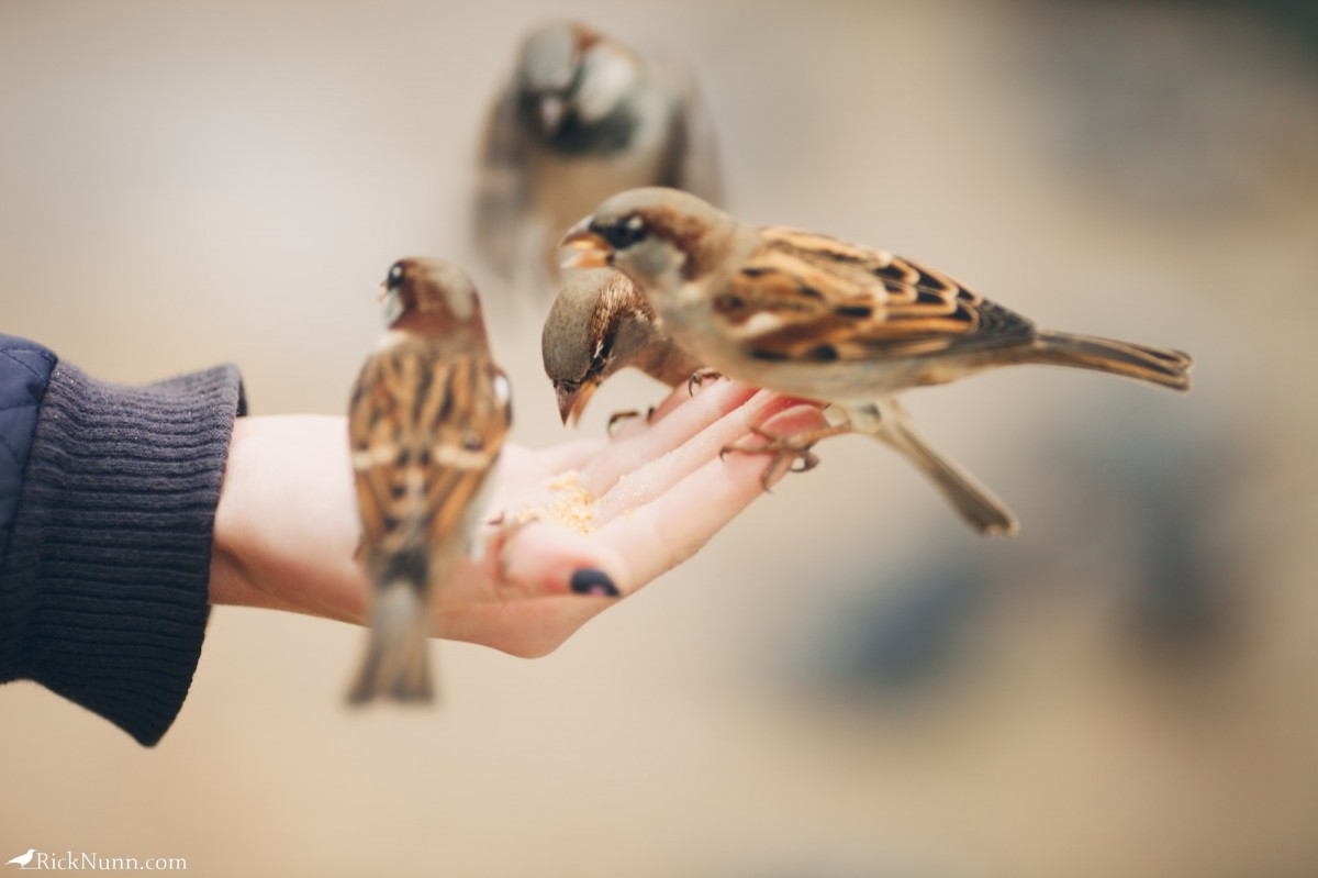 Paris - Sparrows in the hand Photographed by Rick Nunn