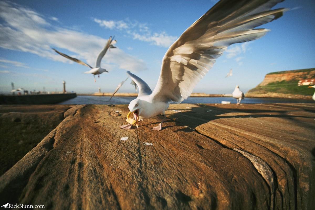 Whitby 2012 - 24 Gul Photographed by Rick Nunn
