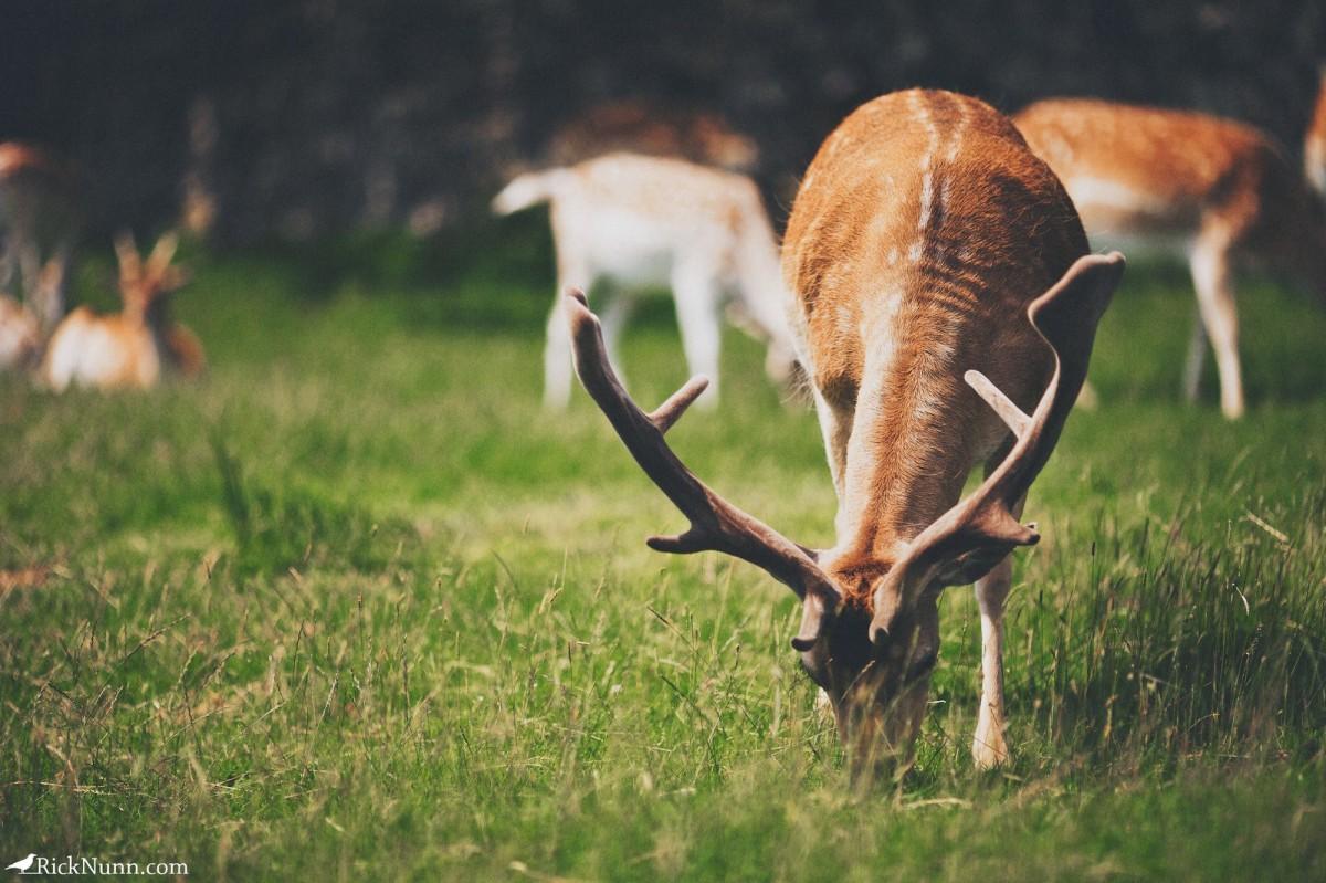 Deer Hunters - Bradgate 4 Photographed by Rick Nunn