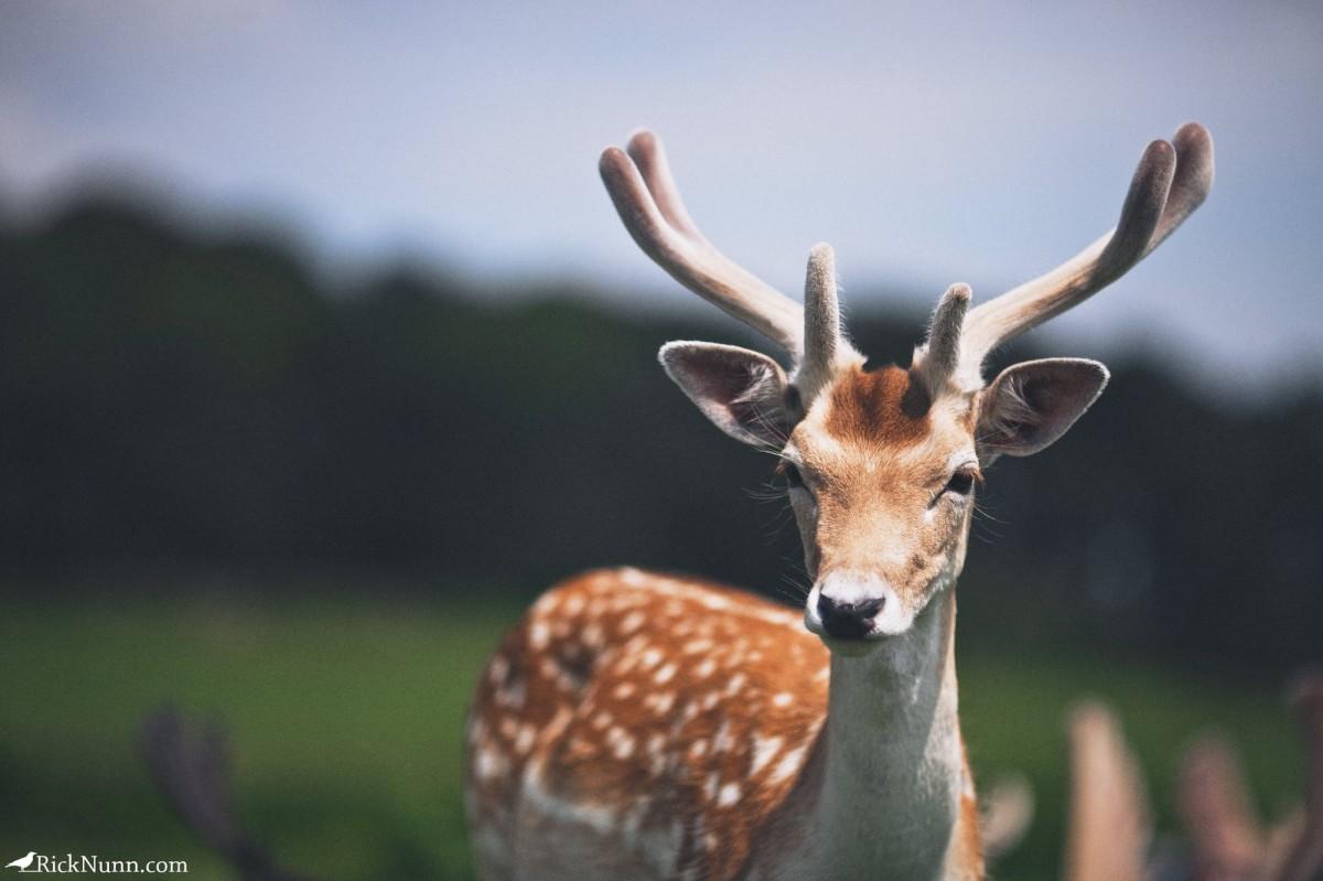 Deer Hunters - Bradgate 5 Photographed by Rick Nunn