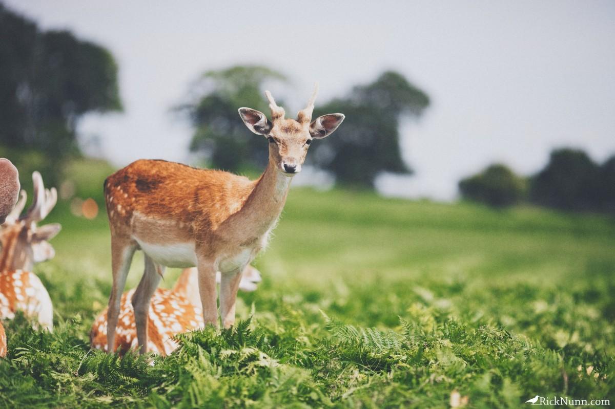 Deer Hunters - Bradgate 7 Photographed by Rick Nunn