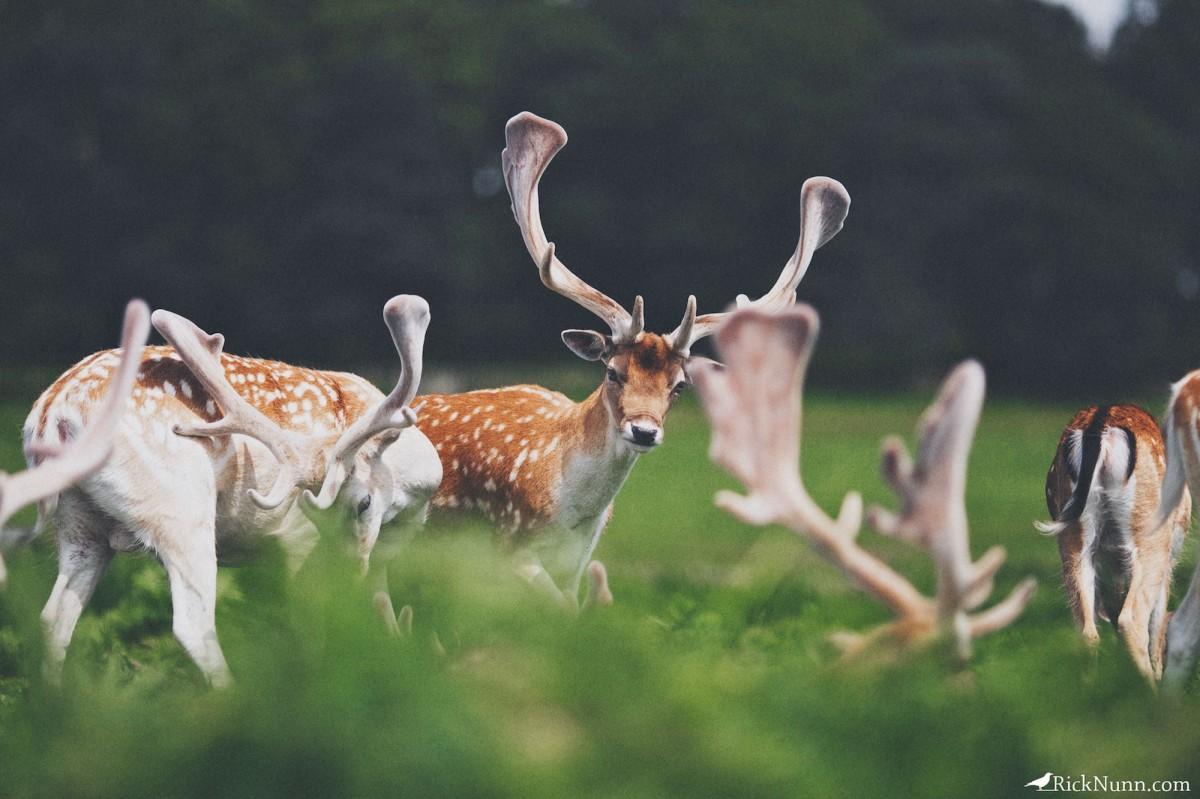Deer Hunters - Bradgate 8 Photographed by Rick Nunn