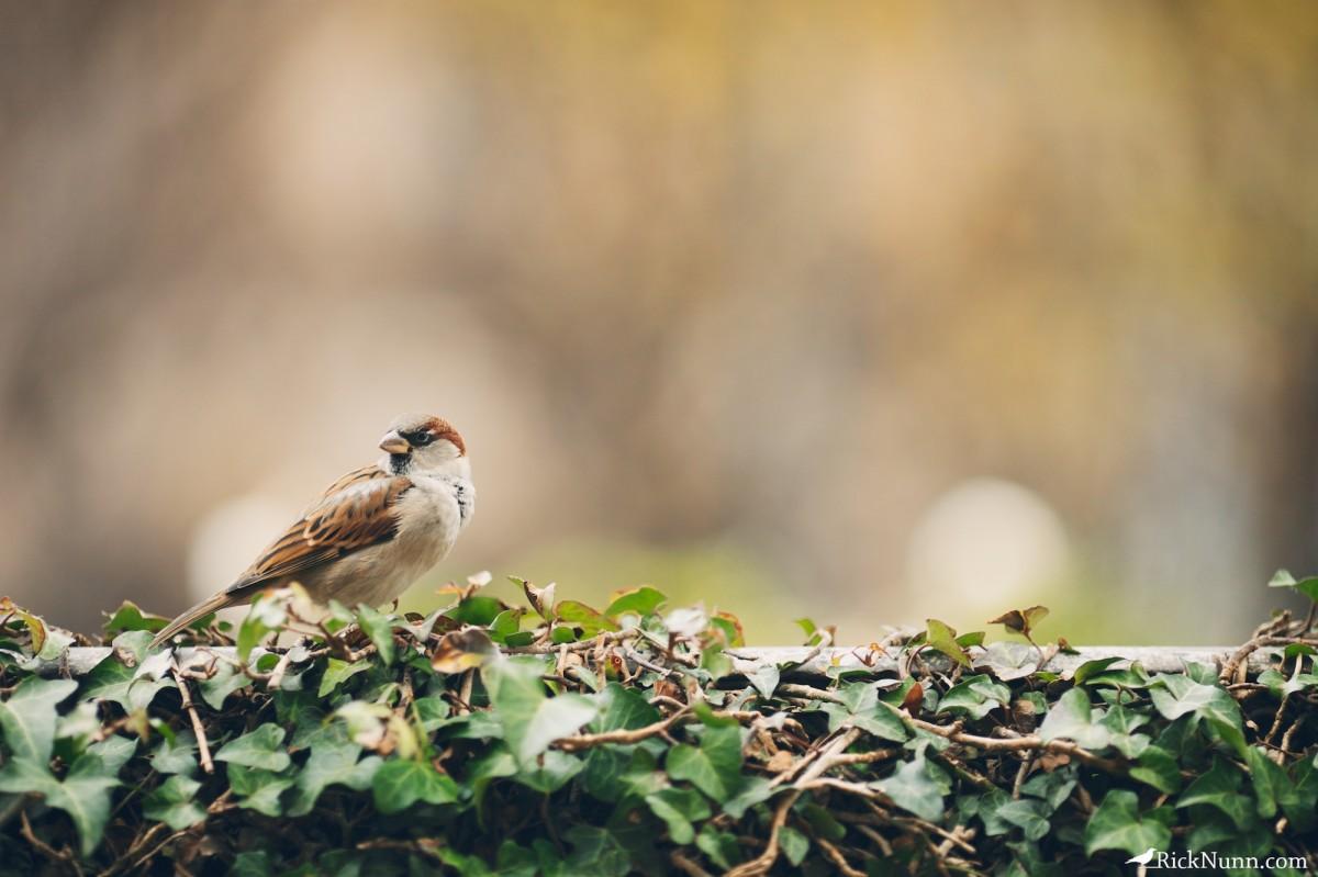 Paris - Sparrow perched Photographed by Rick Nunn