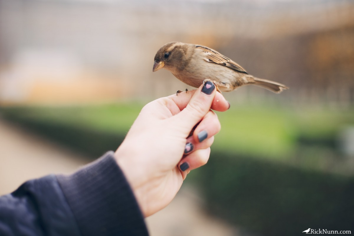 Paris - Another sparrow in a hand Photographed by Rick Nunn