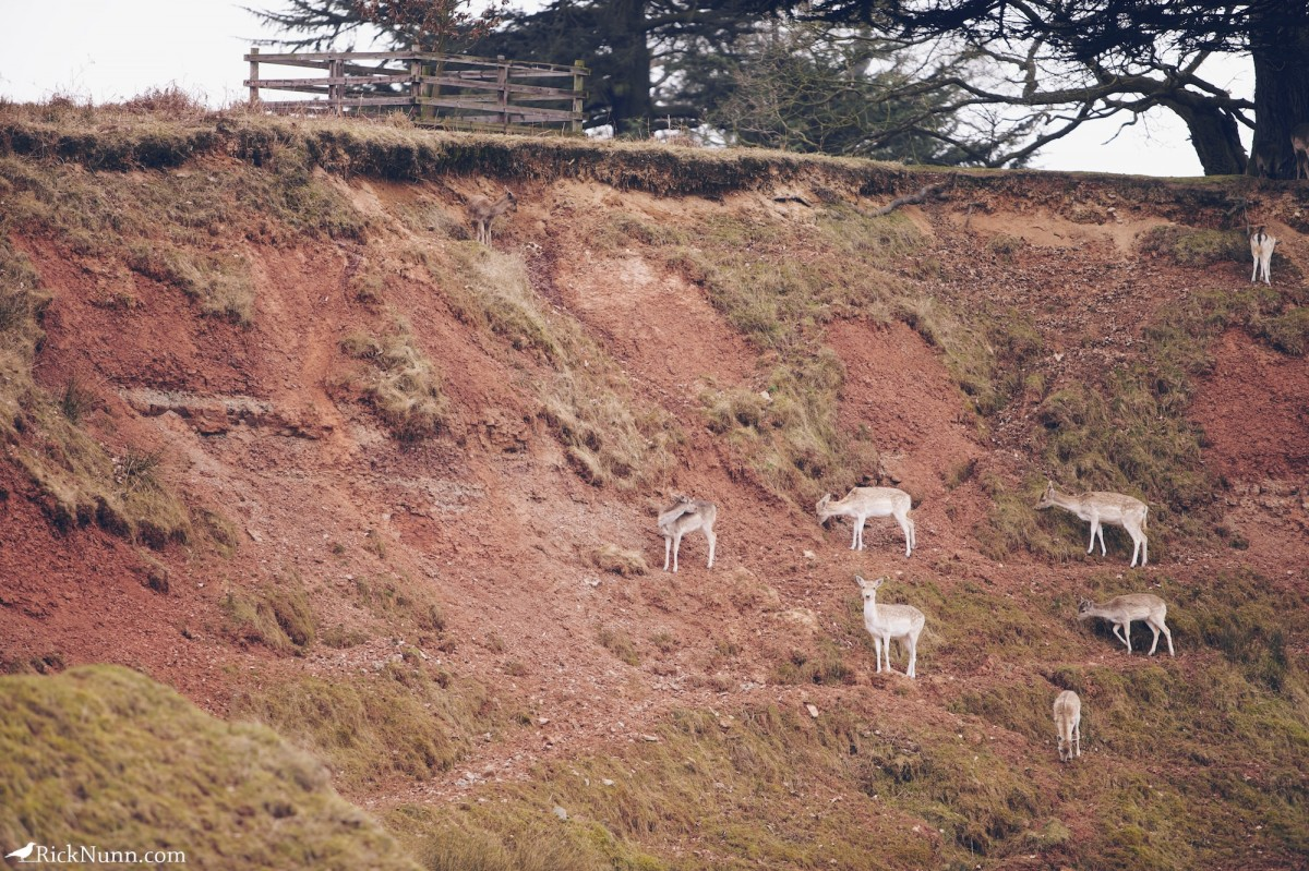 Fawn/Buck/Stag - Bradgate 1 Photographed by Rick Nunn