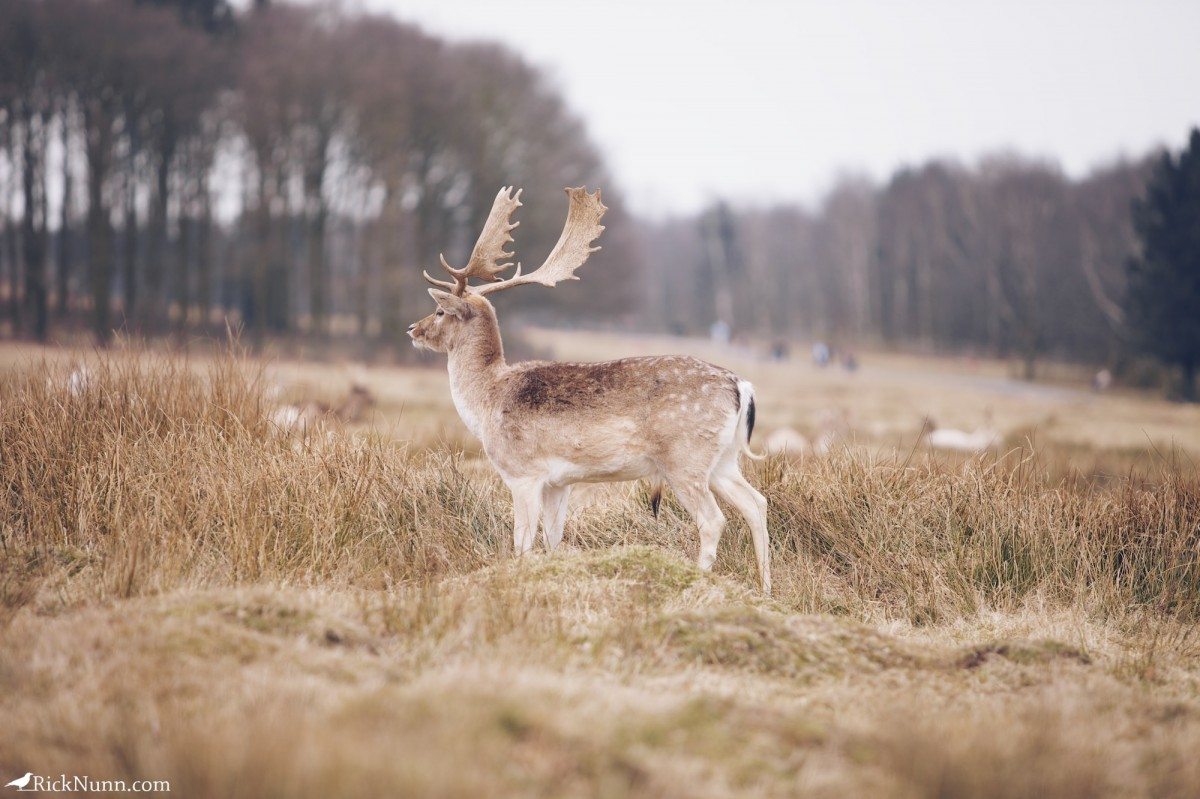 Fawn/Buck/Stag - Bradgate 2 Photographed by Rick Nunn