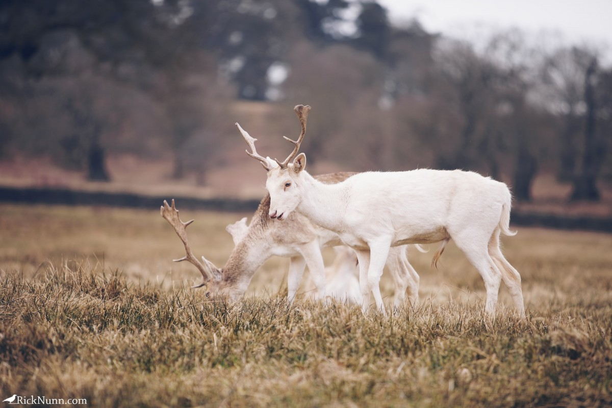 Fawn/Buck/Stag - Bradgate 3 Photographed by Rick Nunn