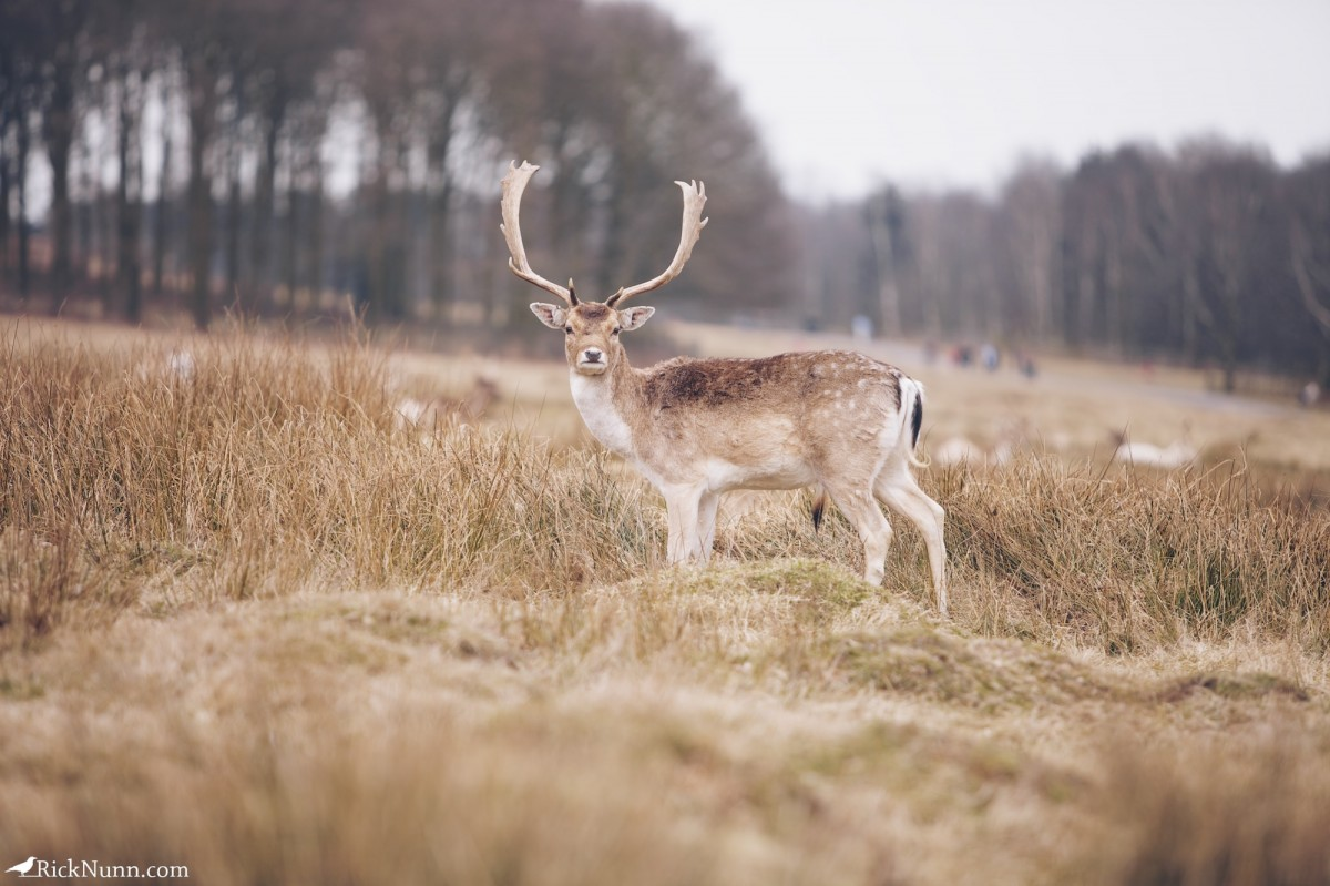 Fawn/Buck/Stag - Bradgate 4 Photographed by Rick Nunn