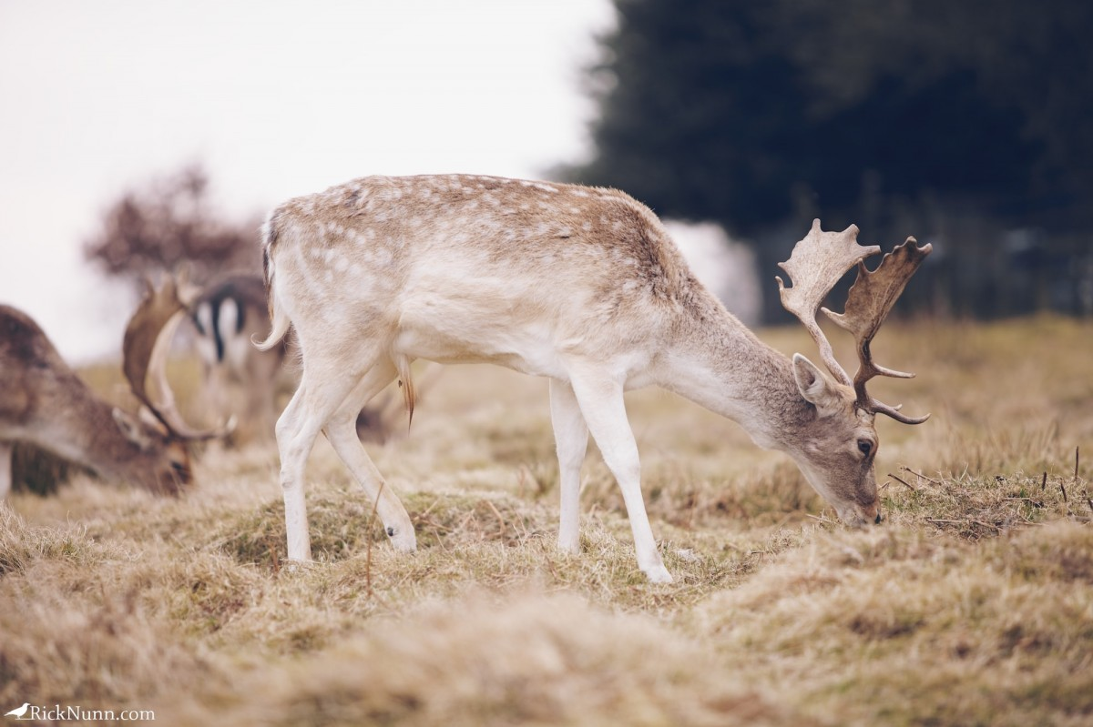 Fawn/Buck/Stag - Bradgate 5 Photographed by Rick Nunn
